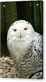 White Owl Acrylic Print by Rainer Kersten
