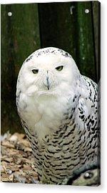 White Owl Acrylic Print