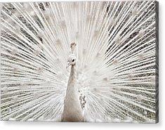 White Peacock, Lahore Acrylic Print by pharan Tanveer
