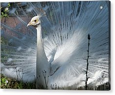 White Peacock Acrylic Print by Lamarre Labadie