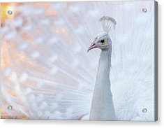 Acrylic Print featuring the photograph White Peacock by Sebastian Musial