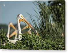 Acrylic Print featuring the photograph White Pelican 7-2015 by Thomas Young