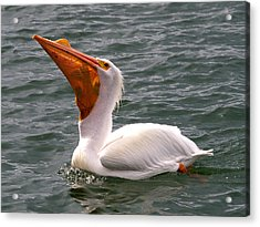 Acrylic Print featuring the photograph White Pelican And Lunch by Phil Stone