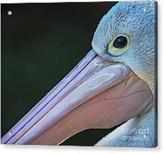 White Pelican Close Up Acrylic Print by Avalon Fine Art Photography