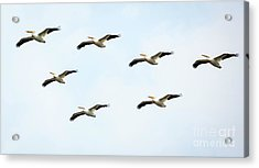 White Pelican Flyby Acrylic Print by Ricky L Jones