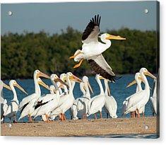 White Pelican In Flight Acrylic Print by Diane Luke