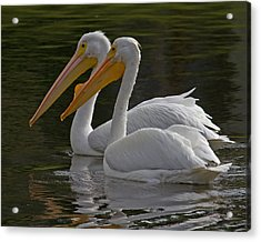 White Pelican Pair Acrylic Print