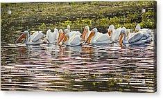 White Pelican Parade Acrylic Print