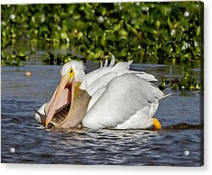 Acrylic Print featuring the photograph White Pelican With A Huge Catch by Phil Stone