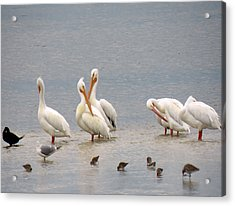 White Pelicans And Friends Acrylic Print