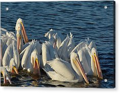 Acrylic Print featuring the photograph White Pelicans Flock Feeding by Bradford Martin
