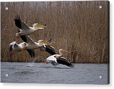 White Pelicans In Flight Over Lake Acrylic Print