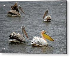 White Pelicans On Lake  Acrylic Print