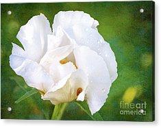 White Peony After The Rain Acrylic Print