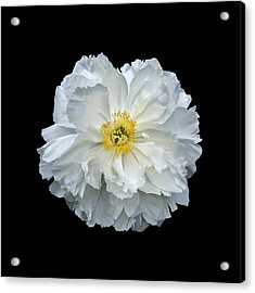 White Peony Acrylic Print by Charles Harden