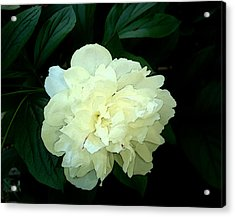 Acrylic Print featuring the photograph White Peony Rose Sumie Print by Margie Avellino