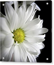White Petals Acrylic Print by Julie Palencia