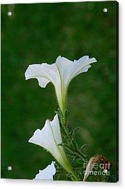 White Petunia Blossoms Acrylic Print