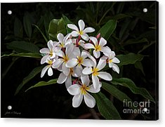 White Plumerias In Bloom Acrylic Print