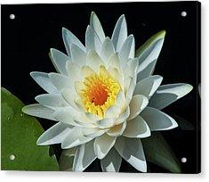 White Pond Lily Acrylic Print by Arthur Dodd