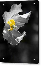 White Poppy Acrylic Print by Svetlana Sewell