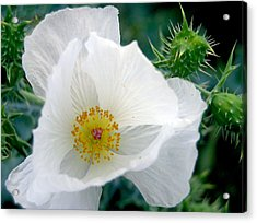 White Prickly Poppy Acrylic Print