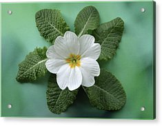 Acrylic Print featuring the photograph White Primrose by Terence Davis