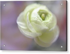 Acrylic Print featuring the photograph White Ranunculus Bud by Jenny Rainbow