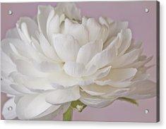 White Ranunculus Macro  Acrylic Print by Sandra Foster