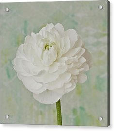 White Ranunculus Acrylic Print by Sandra Foster