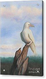White Raven Acrylic Print by Anne Havard