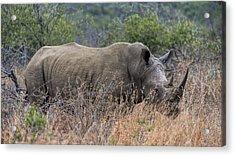 White Rhino Acrylic Print by Stephen Stookey