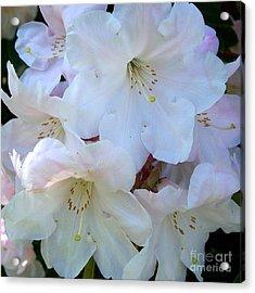 White Rhododendron Acrylic Print by Vera Gadman