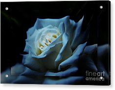 White Rose 2 Acrylic Print