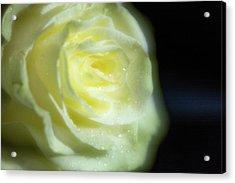 White Rose 4 Soft Acrylic Print