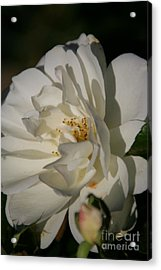 White Rose Acrylic Print by Andrea Jean