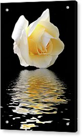 White Rose Acrylic Print by Angel Jesus De la Fuente