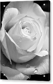 White Rose Acrylic Print by Brian Roscorla