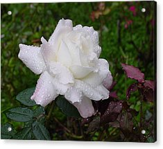 White Rose In Rain Acrylic Print