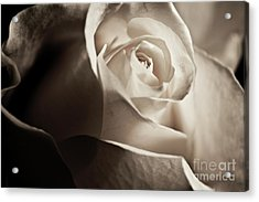 Acrylic Print featuring the photograph White Rose In Sepia 2 by Micah May