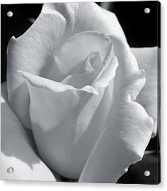 White Rose Acrylic Print by JAMART Photography