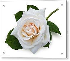 White Rose Acrylic Print by Jane McIlroy