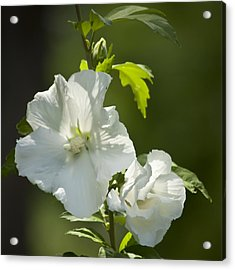 White Rose Of Sharon Squared Acrylic Print by Teresa Mucha