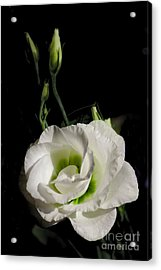 White Rose On Black Acrylic Print