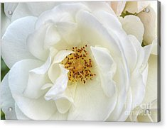 White Rose Purity Secrecy Acrylic Print