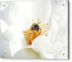 Looking For Gold In A White Rose Acrylic Print