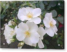 White Roses Bloom Acrylic Print