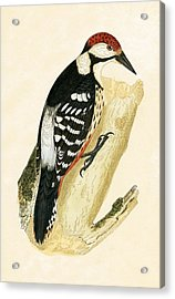 White Rumped Woodpecker Acrylic Print by English School