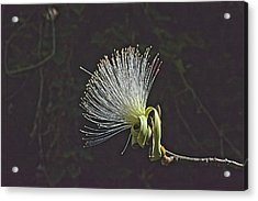 White Shaving Brush Pseudobombax Flower Acrylic Print