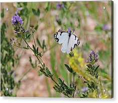 White-skipper On Lupine Acrylic Print